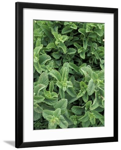 Mint Leaves for Brewing Traditional Tea, Morocco-John & Lisa Merrill-Framed Art Print