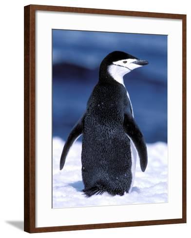 Chinstrap Penguin, Weddell Sea, Antarctic Peninsula, Antarctica-Pete Oxford-Framed Art Print