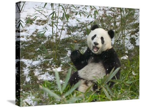 Panda Eating Bamboo on Snow, Wolong, Sichuan, China-Keren Su-Stretched Canvas Print