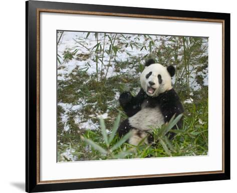 Panda Eating Bamboo on Snow, Wolong, Sichuan, China-Keren Su-Framed Art Print