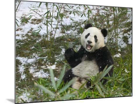 Panda Eating Bamboo on Snow, Wolong, Sichuan, China-Keren Su-Mounted Photographic Print
