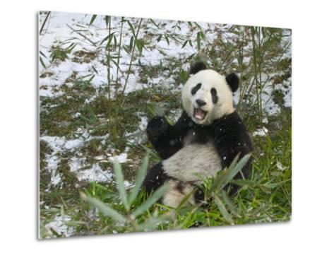 Panda Eating Bamboo on Snow, Wolong, Sichuan, China-Keren Su-Metal Print