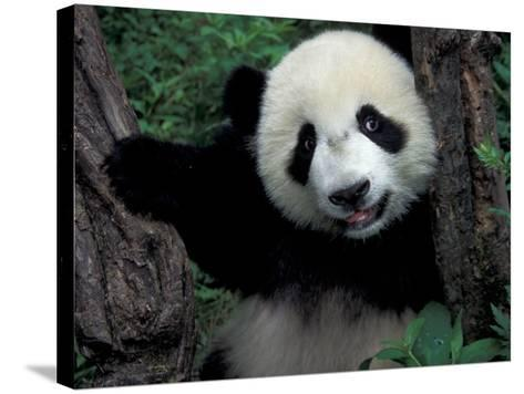 Panda Cub with Tree, Wolong, Sichuan Province, China-Keren Su-Stretched Canvas Print