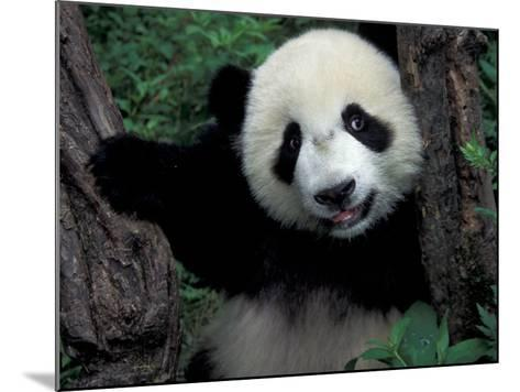 Panda Cub with Tree, Wolong, Sichuan Province, China-Keren Su-Mounted Photographic Print