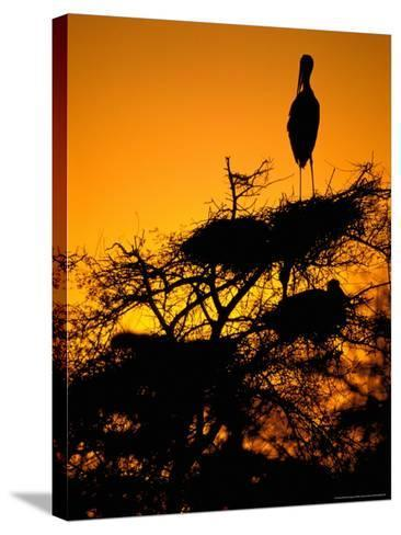 Painted Stork, Bharatpur, Keoladeo National Park, Rajasthan, India-Pete Oxford-Stretched Canvas Print