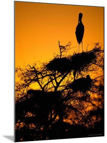 Painted Stork, Bharatpur, Keoladeo National Park, Rajasthan, India-Pete Oxford-Mounted Photographic Print