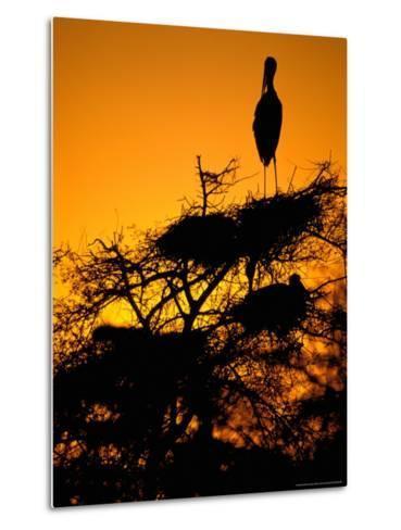 Painted Stork, Bharatpur, Keoladeo National Park, Rajasthan, India-Pete Oxford-Metal Print