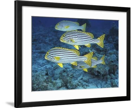 Oriental Sweetlips, Maldives-Stuart Westmoreland-Framed Art Print