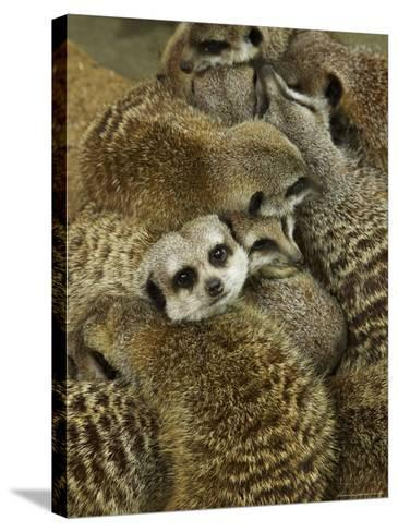 Meerkat Protecting Young, Australia-David Wall-Stretched Canvas Print