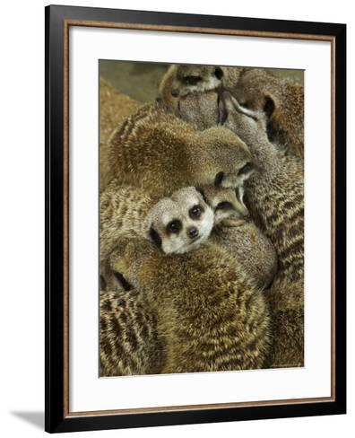 Meerkat Protecting Young, Australia-David Wall-Framed Art Print