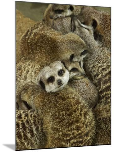 Meerkat Protecting Young, Australia-David Wall-Mounted Photographic Print