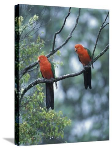 Male Australian King Parrots, Queensland, Australia-Howie Garber-Stretched Canvas Print