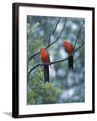 Male Australian King Parrots, Queensland, Australia-Howie Garber-Framed Art Print