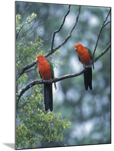 Male Australian King Parrots, Queensland, Australia-Howie Garber-Mounted Photographic Print