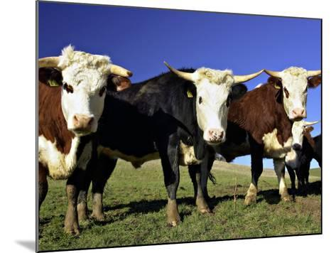Dairy Cows, New Zealand-David Wall-Mounted Photographic Print