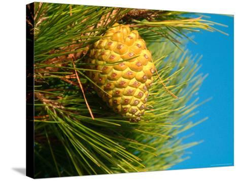 Pine Cone in Tree, New Zealand-William Sutton-Stretched Canvas Print