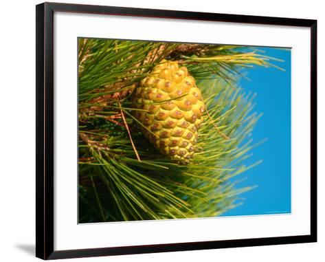 Pine Cone in Tree, New Zealand-William Sutton-Framed Art Print