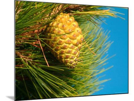 Pine Cone in Tree, New Zealand-William Sutton-Mounted Photographic Print