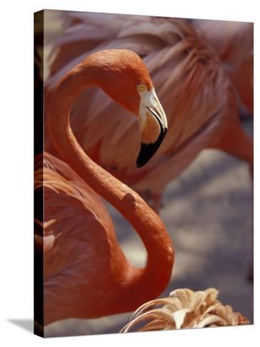 Adastra Gardens, Pink Flamingo, Nassau, Bahamas, Caribbean-Greg Johnston-Stretched Canvas Print