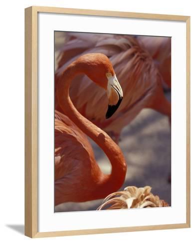 Adastra Gardens, Pink Flamingo, Nassau, Bahamas, Caribbean-Greg Johnston-Framed Art Print