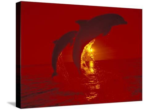 Bottlenose Dolphins, Caribbean-Stuart Westmoreland-Stretched Canvas Print