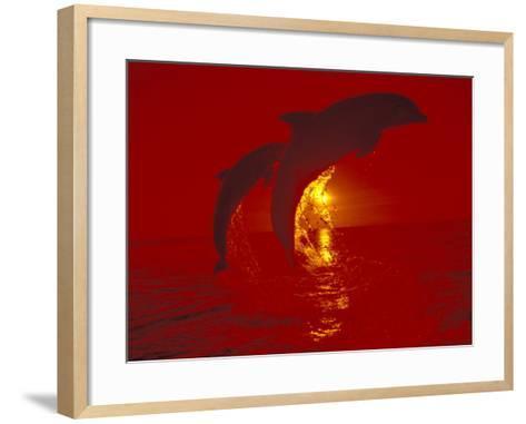 Bottlenose Dolphins, Caribbean-Stuart Westmoreland-Framed Art Print