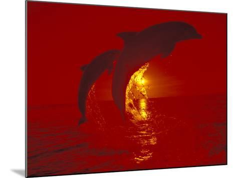 Bottlenose Dolphins, Caribbean-Stuart Westmoreland-Mounted Photographic Print
