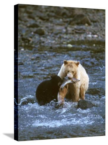 Sow with Cub Eating Fish, Rainforest of British Columbia-Steve Kazlowski-Stretched Canvas Print