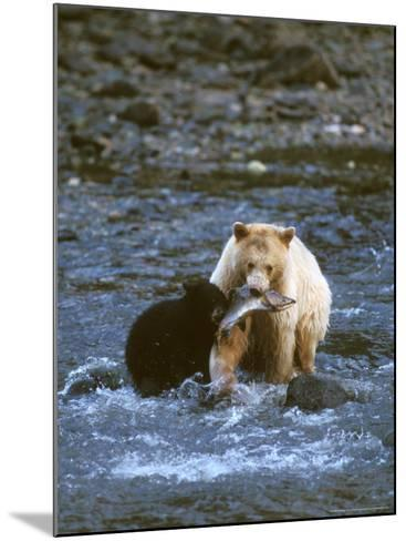 Sow with Cub Eating Fish, Rainforest of British Columbia-Steve Kazlowski-Mounted Photographic Print