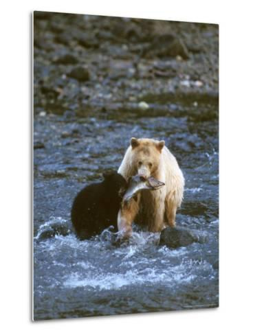 Sow with Cub Eating Fish, Rainforest of British Columbia-Steve Kazlowski-Metal Print