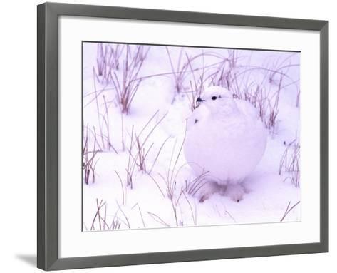 Rock Ptarmigan, Churchill, Manitoba, Canada-Gavriel Jecan-Framed Art Print