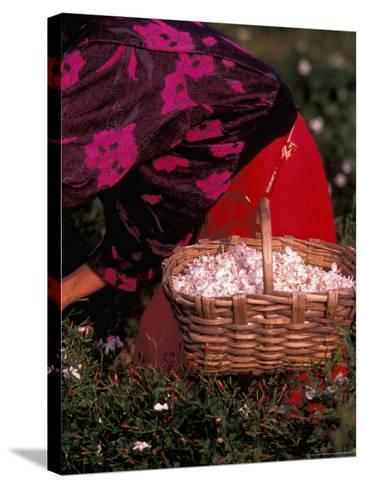 Gypsies Pick Jasmine Flowers, Grasse, France-Nik Wheeler-Stretched Canvas Print