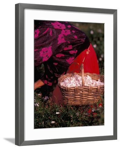 Gypsies Pick Jasmine Flowers, Grasse, France-Nik Wheeler-Framed Art Print