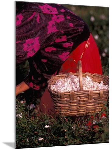 Gypsies Pick Jasmine Flowers, Grasse, France-Nik Wheeler-Mounted Photographic Print