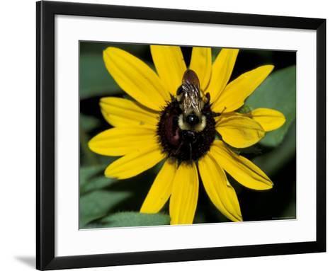 Golden Northern Bumble Bee on Black-Eyed Susan-Adam Jones-Framed Art Print