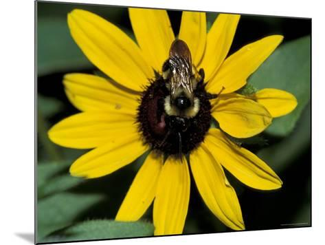 Golden Northern Bumble Bee on Black-Eyed Susan-Adam Jones-Mounted Photographic Print