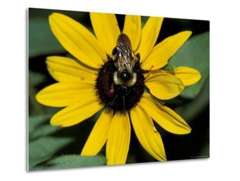 Golden Northern Bumble Bee on Black-Eyed Susan-Adam Jones-Metal Print