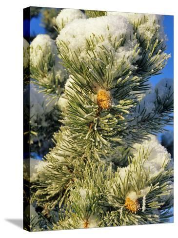 Fresh Snow on Pine Needles-Chuck Haney-Stretched Canvas Print