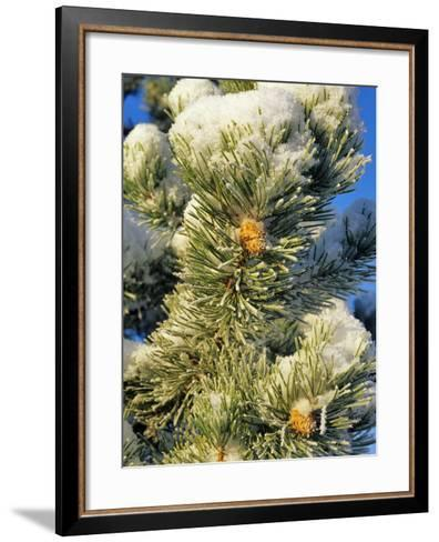 Fresh Snow on Pine Needles-Chuck Haney-Framed Art Print