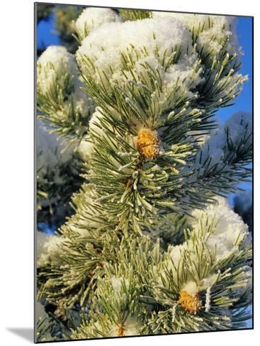 Fresh Snow on Pine Needles-Chuck Haney-Mounted Photographic Print