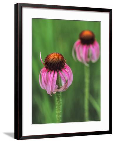 Pale Purple Coneflower-Chuck Haney-Framed Art Print