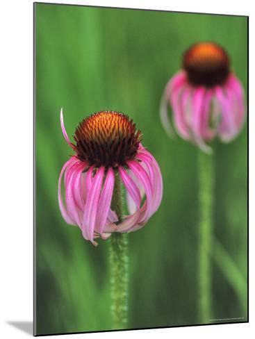 Pale Purple Coneflower-Chuck Haney-Mounted Photographic Print