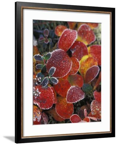 Fall-Colored Bearberry and Dwarf Cranberries, Wonder Lake, Denali National Park, Alaska, USA-Stuart Westmoreland-Framed Art Print