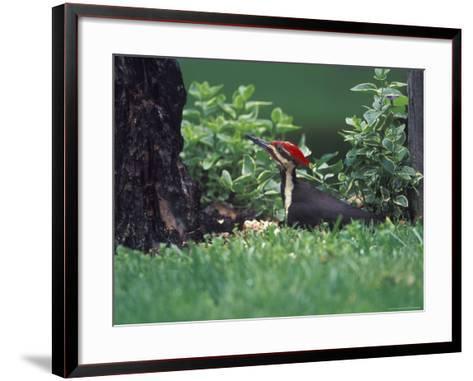 Pileated Woodpecker at Stump, Louisville, Kentucky, USA-Adam Jones-Framed Art Print