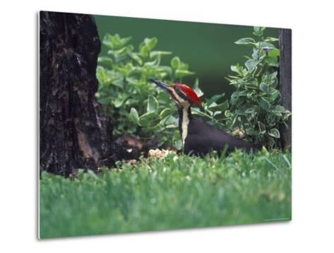 Pileated Woodpecker at Stump, Louisville, Kentucky, USA-Adam Jones-Metal Print