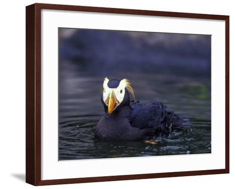 Tufted Puffin-Adam Jones-Framed Art Print