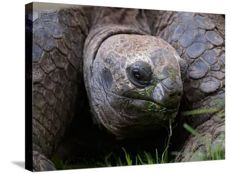 Aldabra Tortoise, Native to Aldabra Island, Near Seychelles-Adam Jones-Stretched Canvas Print