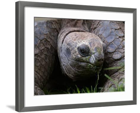 Aldabra Tortoise, Native to Aldabra Island, Near Seychelles-Adam Jones-Framed Art Print