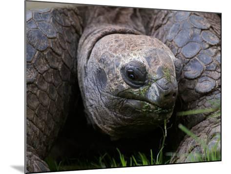 Aldabra Tortoise, Native to Aldabra Island, Near Seychelles-Adam Jones-Mounted Photographic Print
