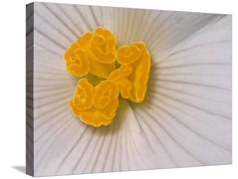 Begonia Flower-Adam Jones-Stretched Canvas Print